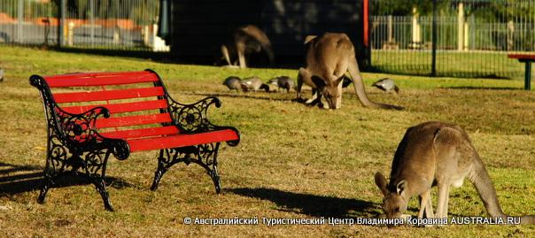 Кенгуру в Грампианс