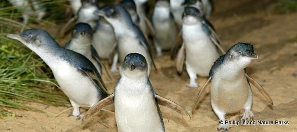 Парад пингвинов на острове Филиппа