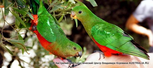 Великая Океанская Дорога - Восточный Королевский попугай